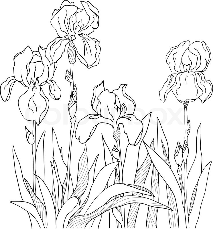 744x800 Iris Outline Drawing