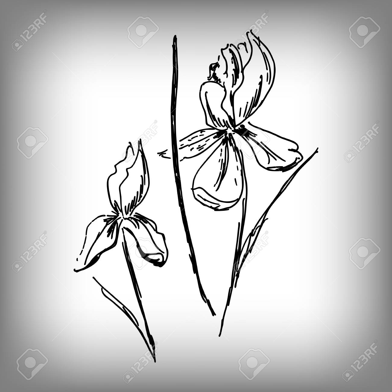1300x1300 Vector Iris Flower. Illustration By Hand. Monochrome Drawing