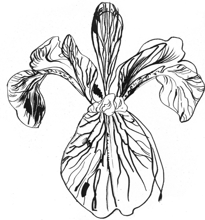 Irises Drawing