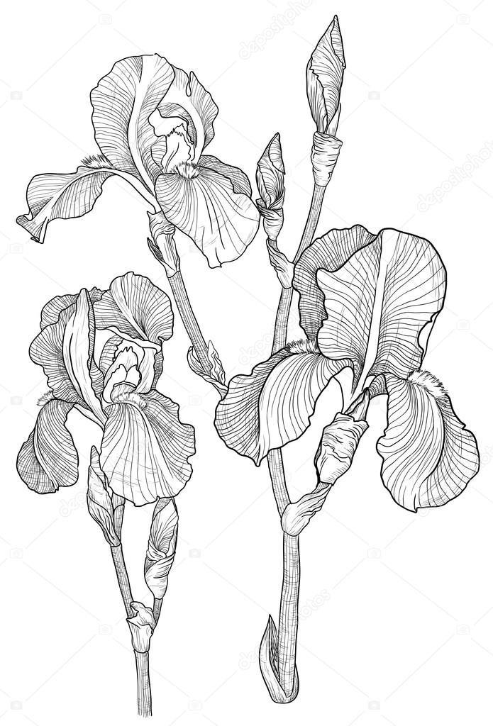 695x1024 Iris Stock Vectors, Royalty Free Iris Illustrations