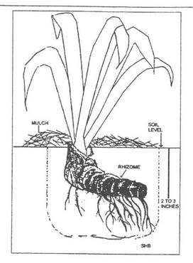 272x370 Louisiana Iris, Carriere, Ms Growing