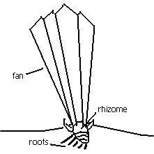 221x221 Tall Bearded Irises Planting Amp Care Instructions Echo Iris