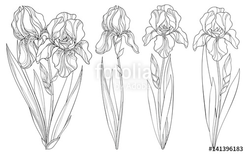 500x313 Vector Set With Outline Iris Flower, Bud And Leaves In Black
