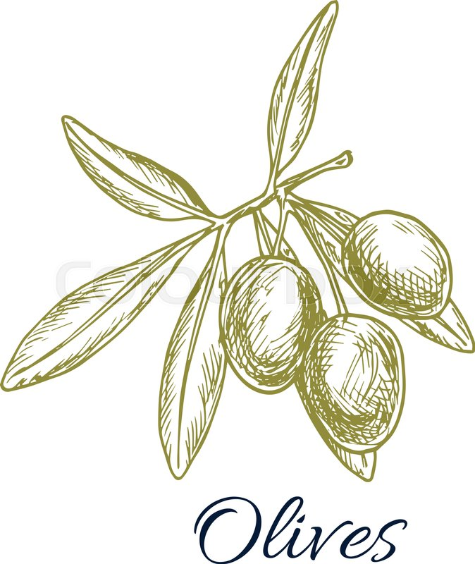 674x800 Olives Sketch Icon. Vector Isolated Green Olive Branch. Design