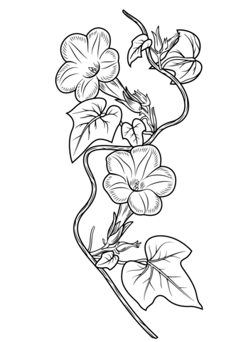 339x480 Ivy Leaf Morning Glory Coloring Page Free Printable Coloring Pages