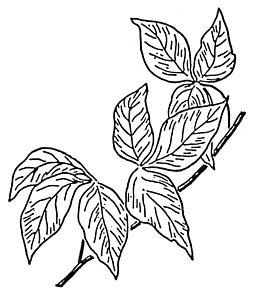 255x300 Poison Ivy Drawings Fine Art America