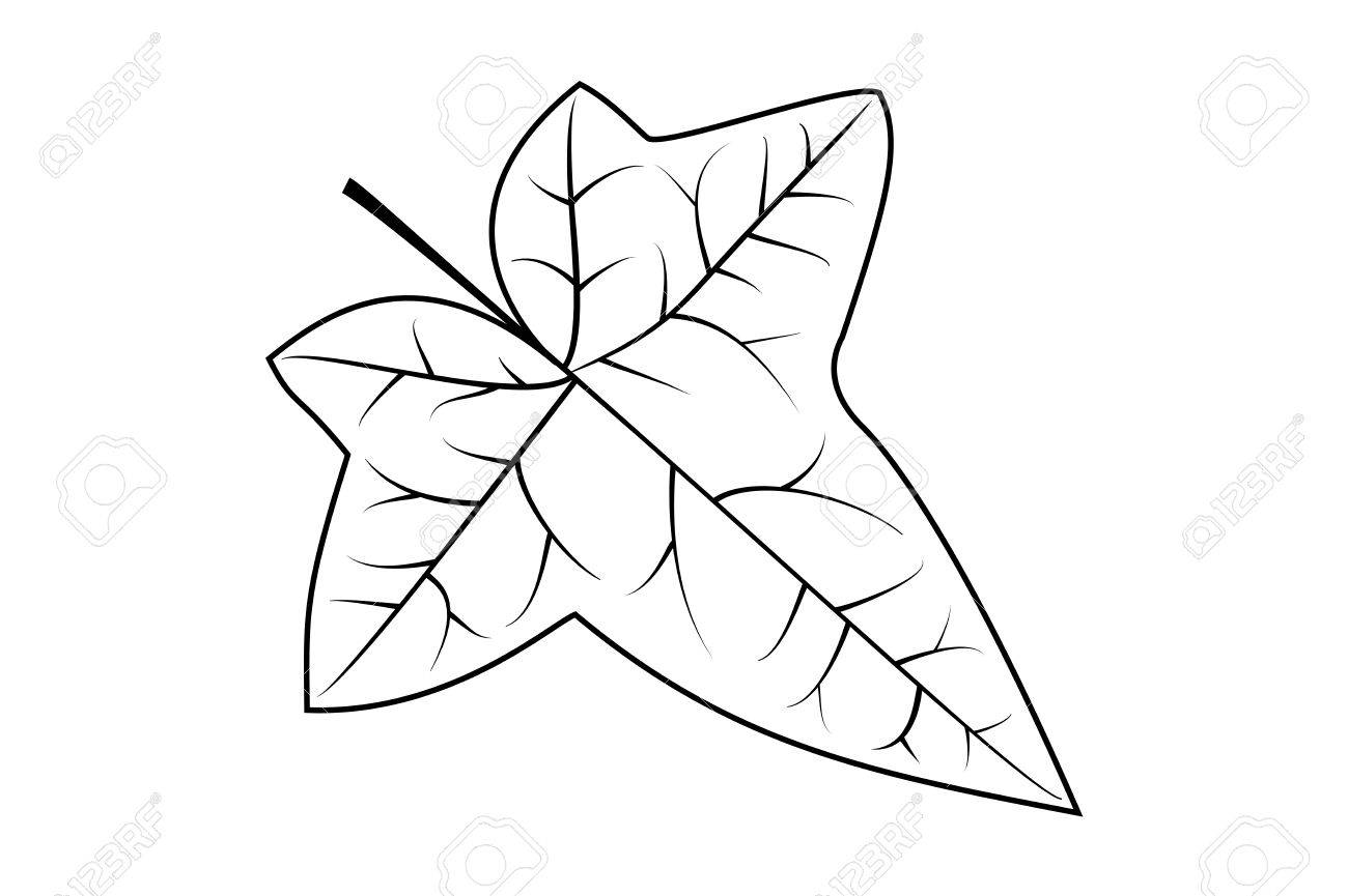 1300x865 Ivy, Ivy Leaf, Vector, Royalty Free Cliparts, Vectors, And Stock