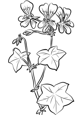 342x480 Ivy Leaf Geranium Coloring Page Free Printable Coloring Pages