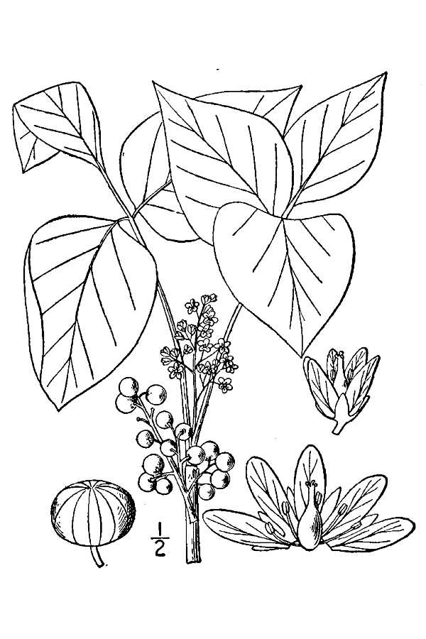 600x900 Large Image For Toxicodendron Radicans (Eastern Poison Ivy) Usda