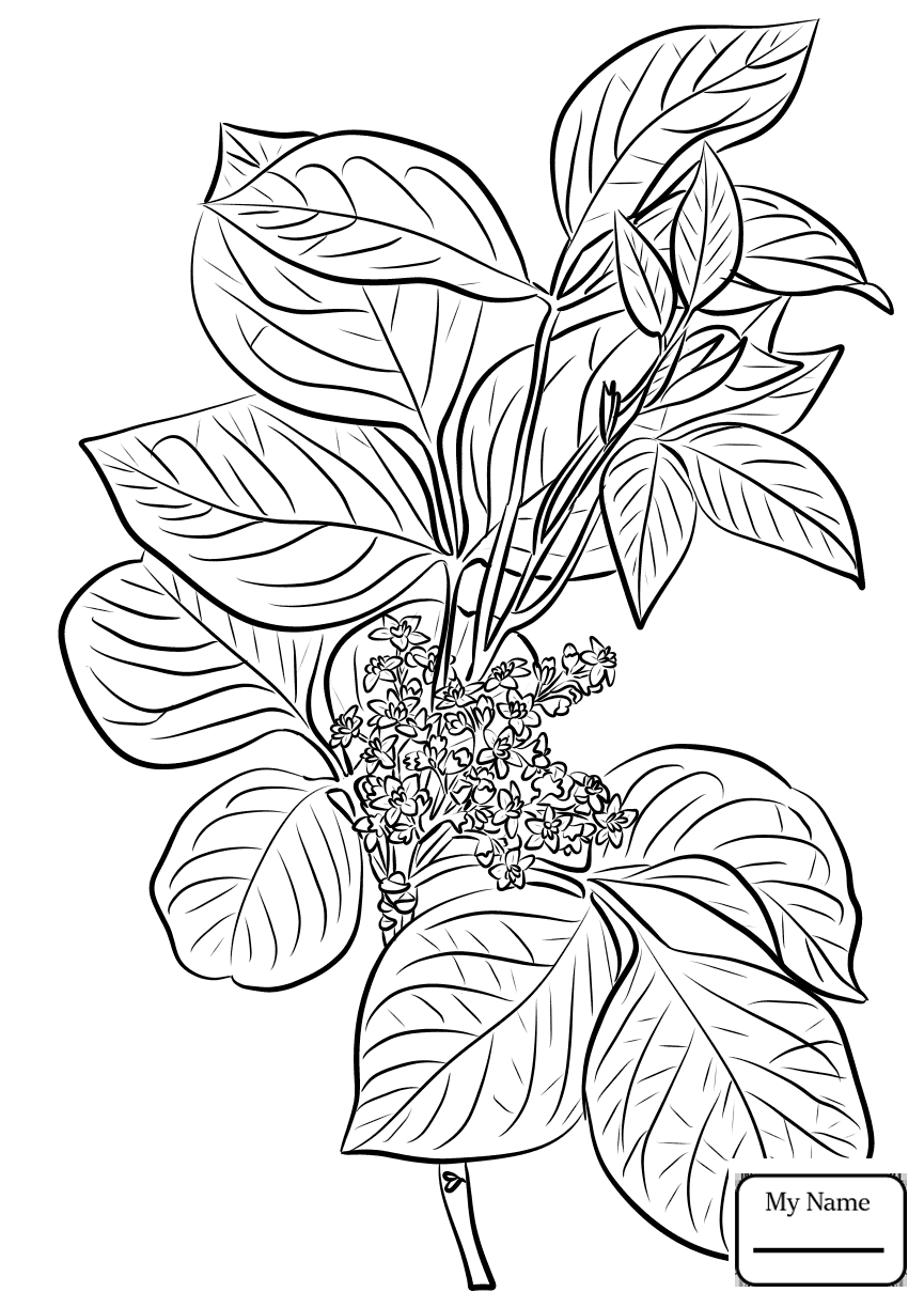 865x1224 Ivy Flowers Common Ivy Leaves Coloring Pages