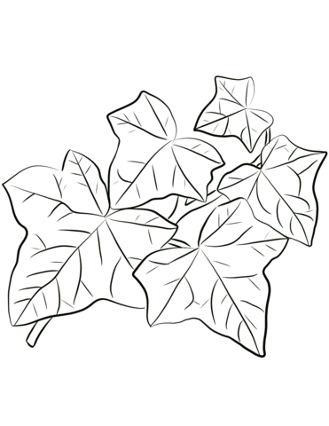 371x480 Common Ivy Leaves Coloring Page Free Printable Coloring Pages