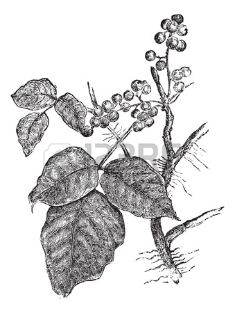 339x450 English Ivy (Hedera Helix) Or Common Ivy Vintage Engraved