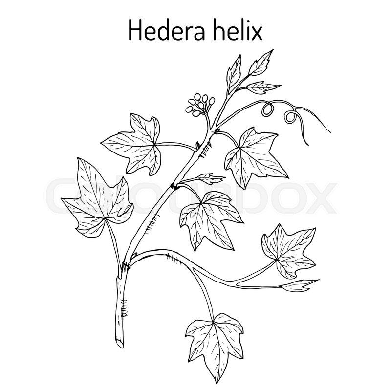 800x800 English Ivy Hedera Helix , Ornamental And Medicinal Plant. Hand