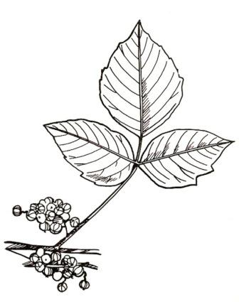 336x425 Recognize, Prevent And Treat Poison Ivy, Poison Oak, And Poison
