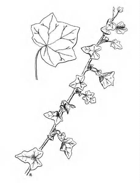 459x600 22 Best Poison Ivy Images On Poison Ivy, Poison Oak