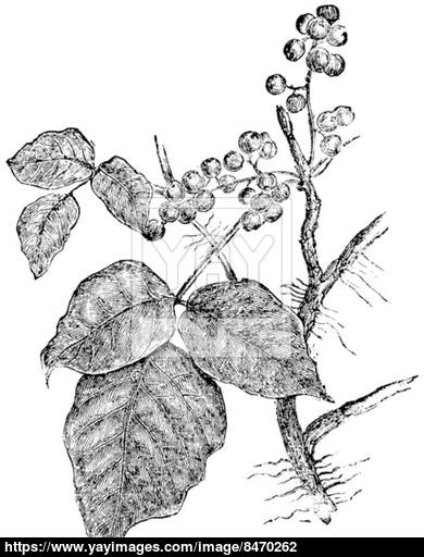 390x512 Poison Ivy (Rhus Toxicodendron), Vintage Engraving. Vector