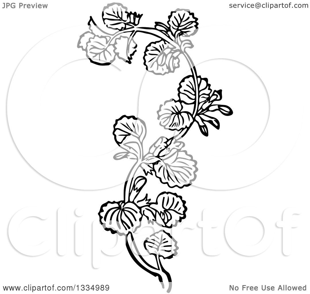 1080x1024 Clipart Of A Black And White Woodcut Herbal Medicinal Ground Ivy