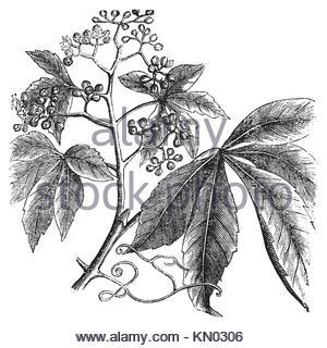 300x320 Virginia Creeper American Ivy And Climbing Hydrangea On A House