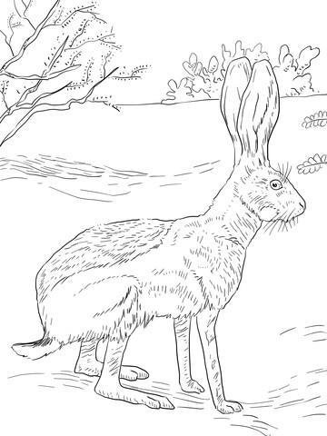 Jack Rabbit Drawing