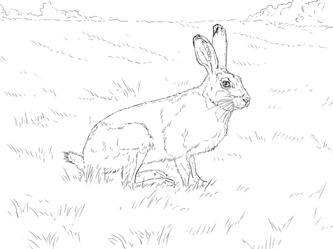 480x360 White Tailed Jackrabbit Coloring Page Free Printable Coloring Pages