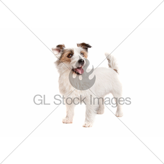 325x325 Jack Russel Terrier Gl Stock Images