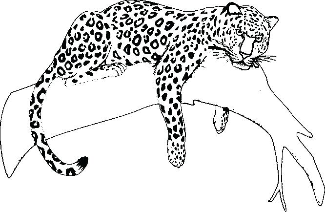 666x434 Glamorous Jaguar Coloring Pages 74 In Free Coloring Book