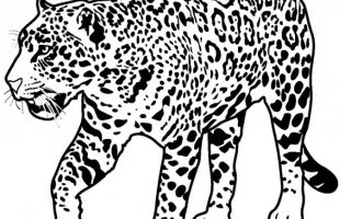 320x200 Jaguar Coloring Page Hd Drawing Board Weekly