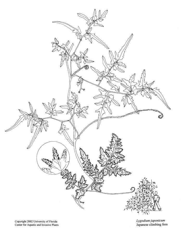 700x900 Lygodium Japonicum