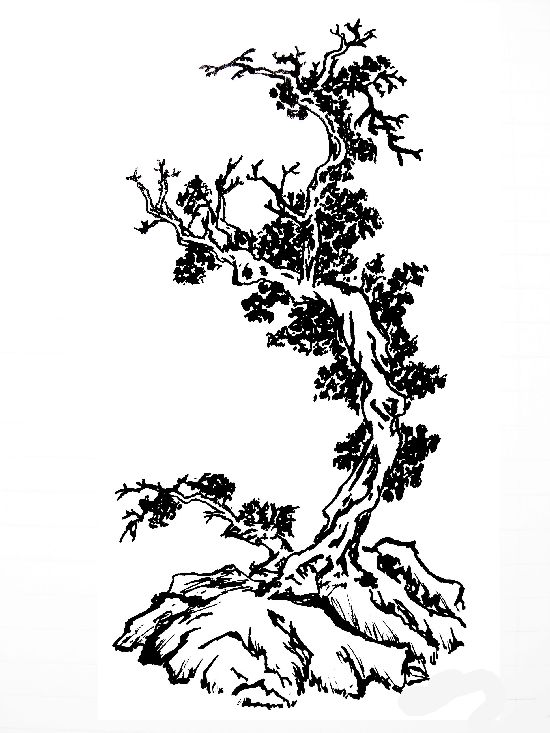 550x733 Japanese Maple Tree Japanese Maple Tree Drawing. Japanese Design