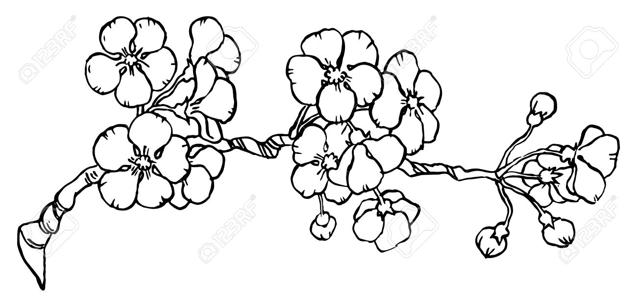 1300x628 Cherry Or Japan Sakura Branch In Blossom Isolated On A White