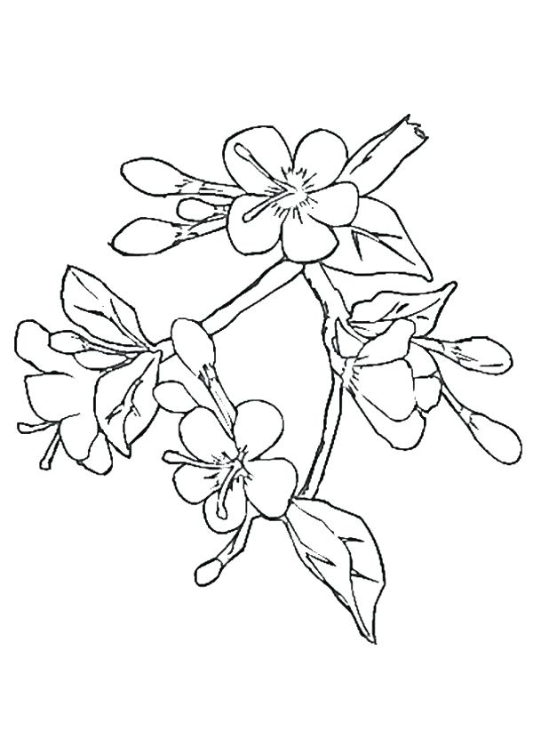 600x849 Awesome Cherry Blossom Coloring Pages And Pics Of Cherry Blossom