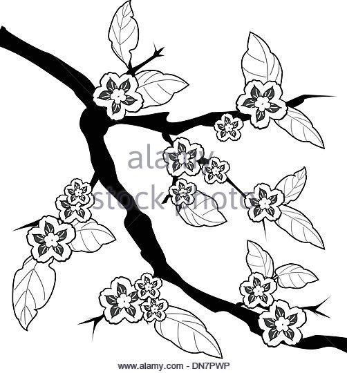 502x540 Japanese Cherry Black And White Stock Photos Amp Images