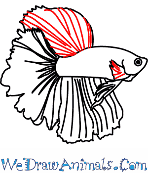 300x350 How To Draw A Siamese Fighting Fish