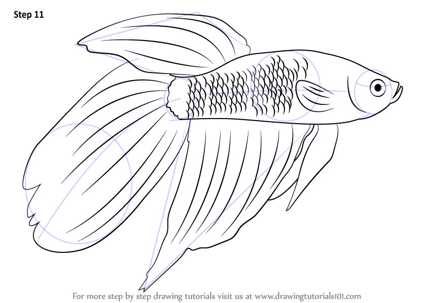 844x598 Learn How To Draw A Siamese Fighting Fish (Fishes) Step By Step