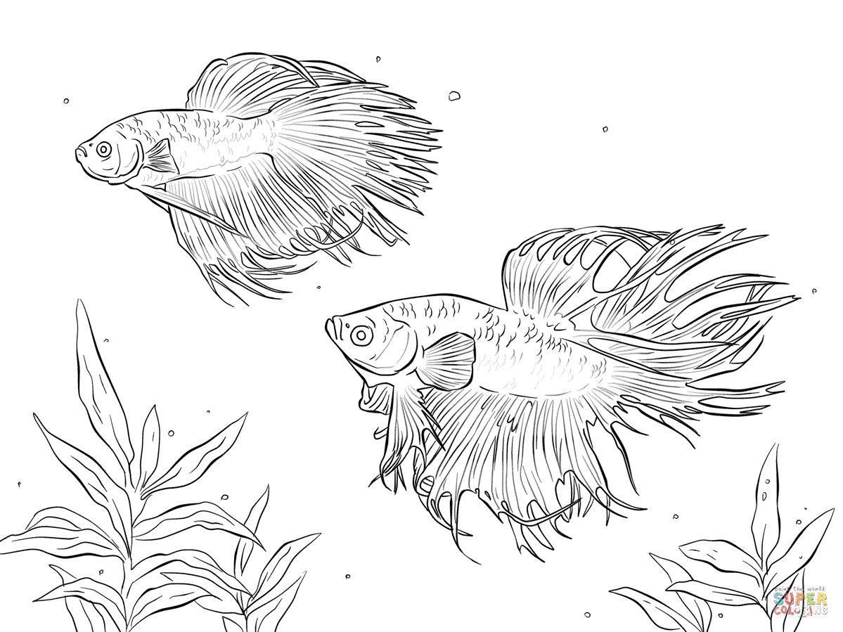 1199x899 Siamese Fighting Fish Coloring Pages Printable Coloring Pages