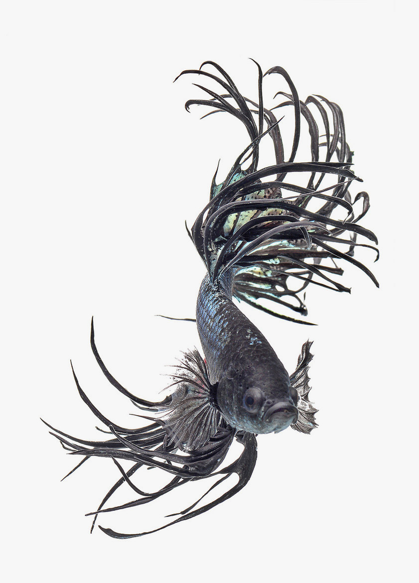 841x1170 Siamese Fighting Fish In Suspended Form Lost In Internet
