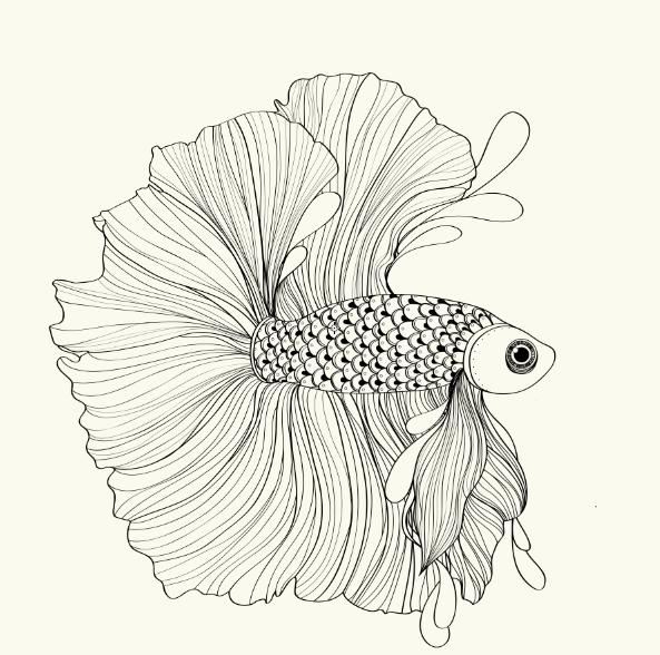 593x588 Siamese Fighting Fish On Behance