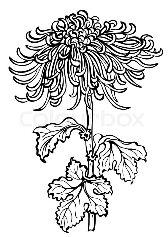 566x800 Japanese Chrysanthemum Flower On White Background Stock Photo