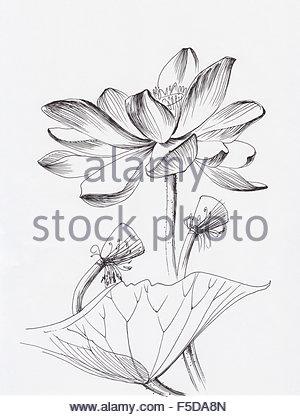 300x417 Lotus Flower Line Art Ink Pen Drawing. Original Style Stock Photo