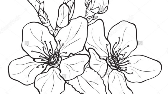 570x320 Cherry Blossom Flower Drawing Flower Cherry Blossoms Drawing Ink