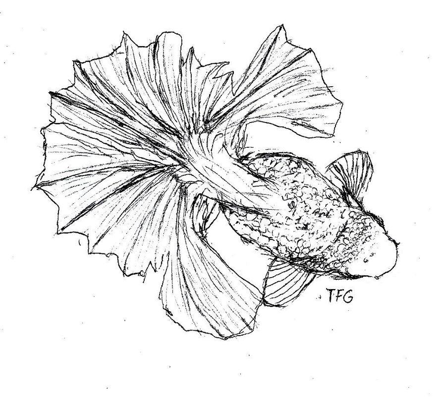 900x831 A Tail Of Tosakin Goldfish
