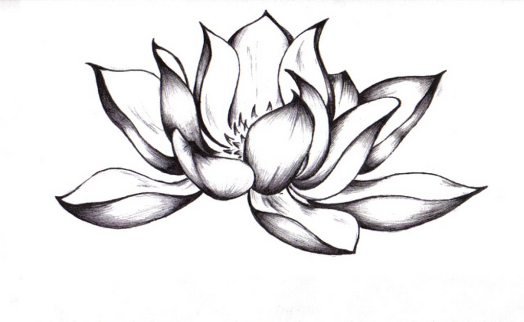 Japanese lotus flower drawing at getdrawings free for personal 1024x630 95 japanese flowers drawings easy mightylinksfo