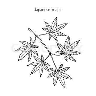 Japanese Maple Drawing