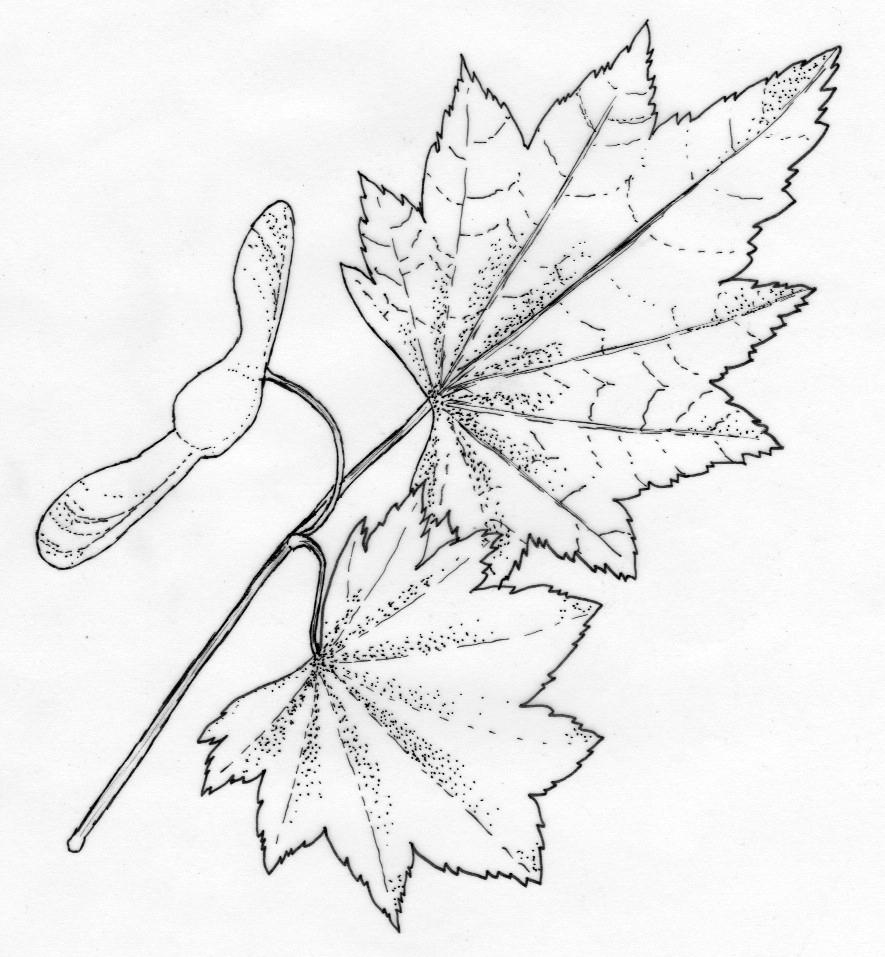 885x957 Botanical Illustration Archives