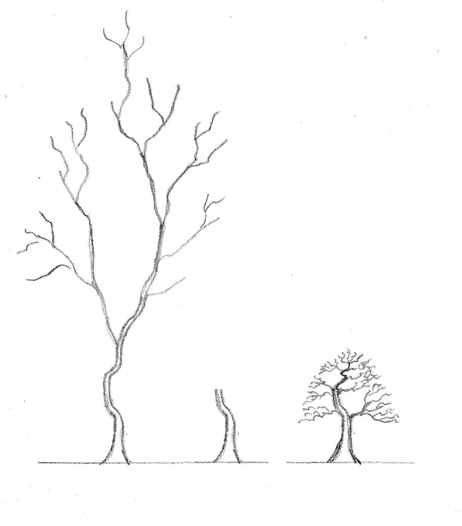 1577x1797 Old Pine Tree Drawings