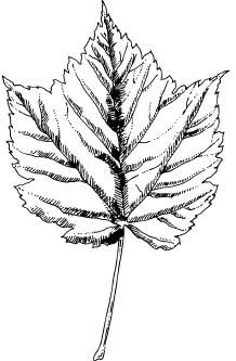 218x333 Maple Tree Identification