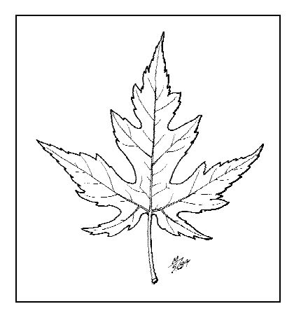 420x444 The Fast Growing Silver Maple Leaf Identification