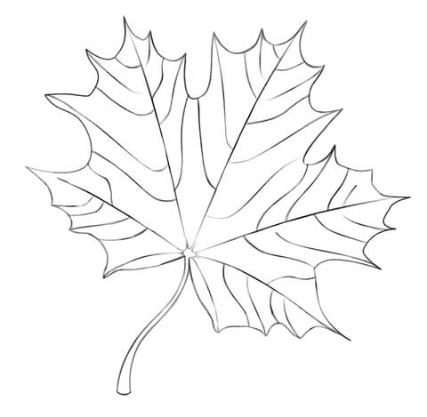 480x469 Maple Leaf Coloring Page Free Printable Pages