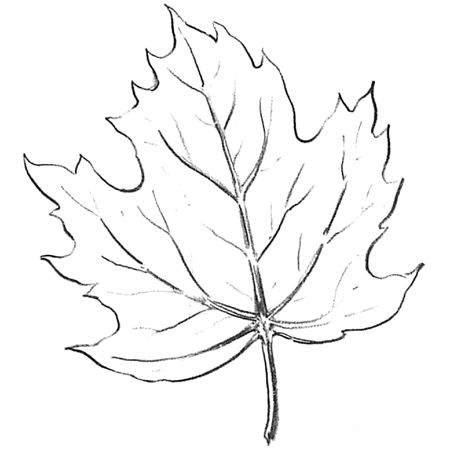450x450 Maple Tree Drawing Easy