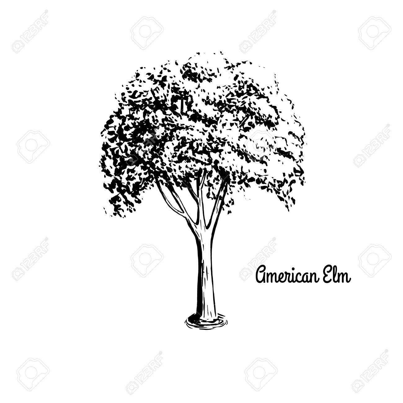 1300x1300 Vector Sketch Illustration Of American Elm. Black Silhouette